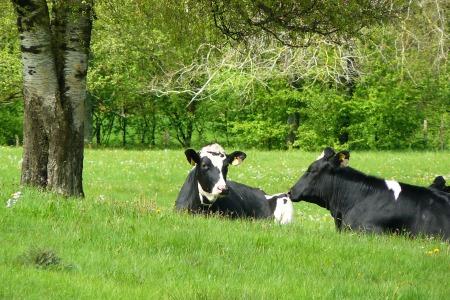 cows-273489_1920